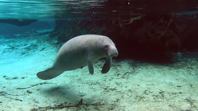 Manatees vom Crystal River