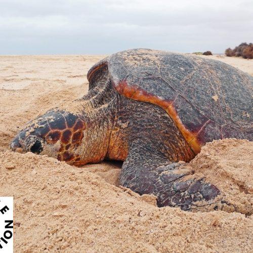 Nistende Unechte Karettschildkroete auf einem der Projektstraende der Turtle Foundation auf Boavista, Kap Verde. Nur selten sieht man die meist nachts nistenden Tiere bei Tag. Bild: Christian Roder, Turtle Foundation